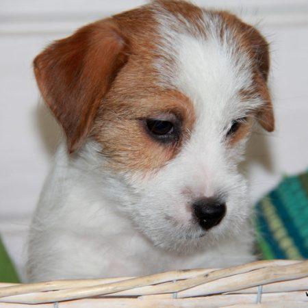 джек рассел терьер купить, жесткощерстный щенок